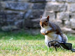 stockvault-grey-squirrel183133