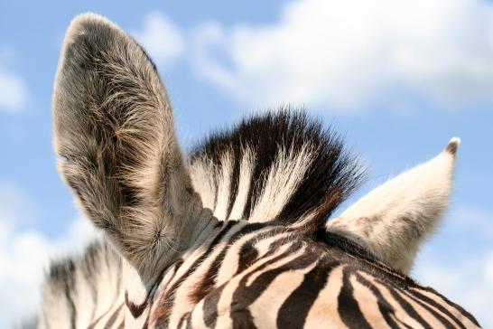 stockvault-zebra-ears133394
