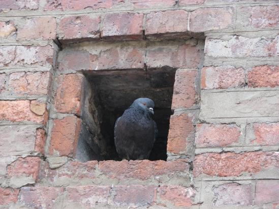 stockvault-pigeon104987