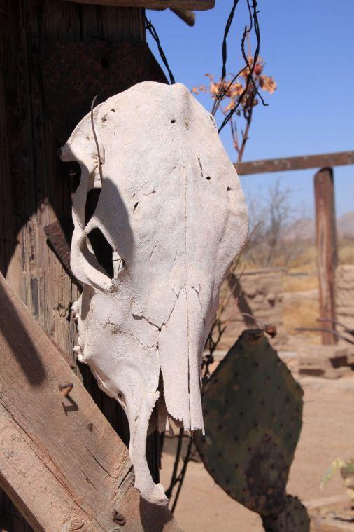 stockvault-cow-skull157616