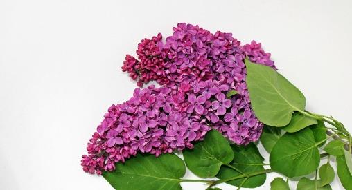 stockvault-pink-lilac215319