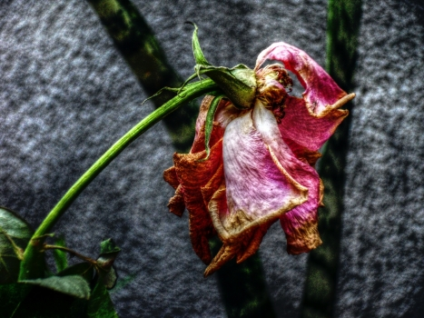 stockvault-dry-rose112524