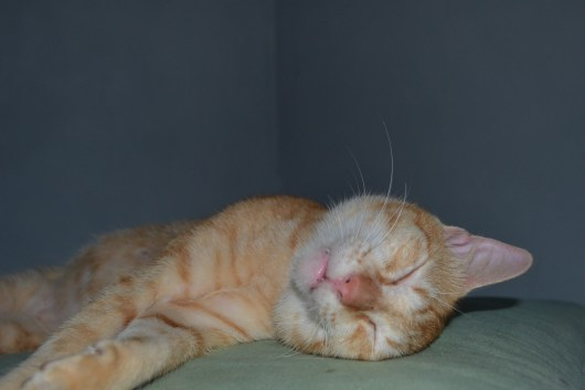 stockvault-sleepy-cat141787